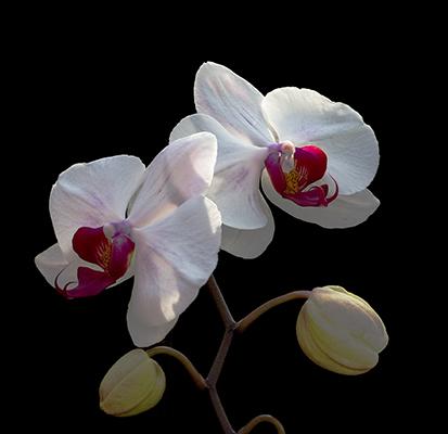 Orchidej phalaenopsis