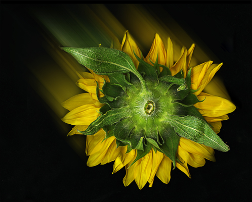 Sunflower Comet of 2005