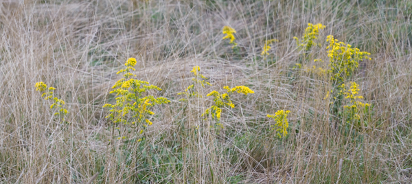Goldenrod in the High Rough